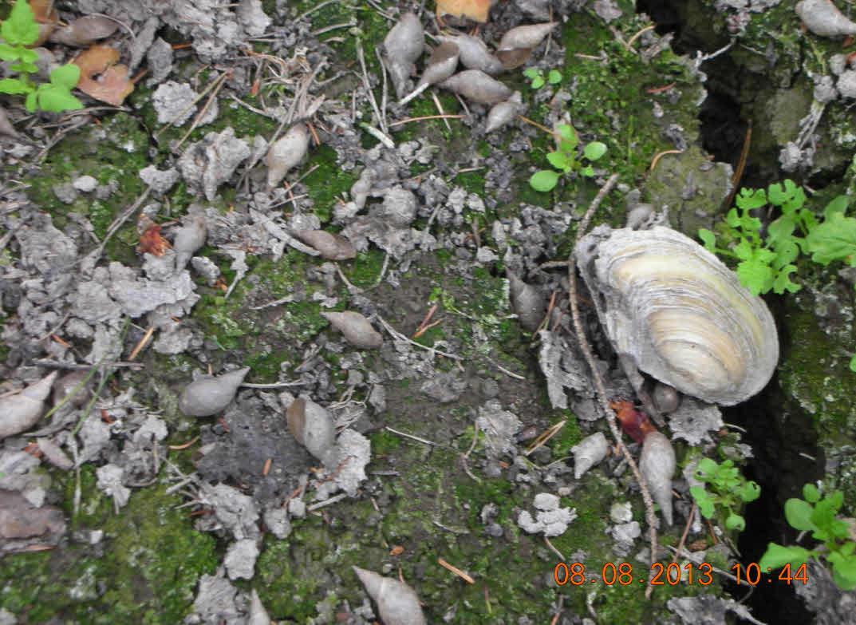 Zerstörte Muschelkolonie im trockengefallenen Floßgraben -  August 2013
